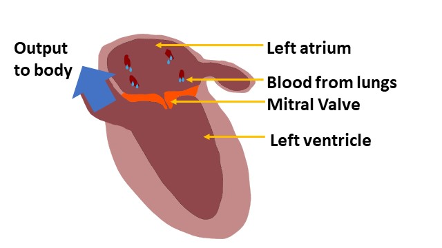An image to show the arrangement between the left atrium and the left heart.